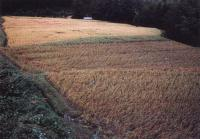 Non-manured paddy fields in foreground unaffected by the 1982 blight; compare with adjacent manured fields in back.